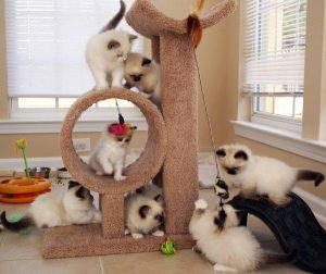 socializing-kittens